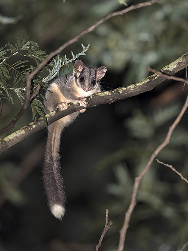 """Leadbeater's Possum - Yarra State Forest, Vic • <a style=""""font-size:0.8em;"""" href=""""http://www.flickr.com/photos/95790921@N07/34190862192/"""" target=""""_blank"""">View on Flickr</a>"""