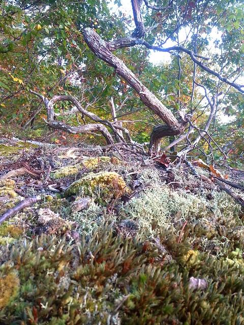 Grey Reindeer lichen