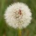 Bugging a dandelion