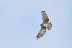 Short-toed Snake Eagle | ormörn | Circaetus gallicus
