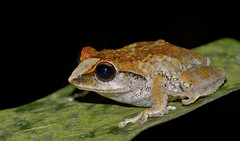 "Raorchestes-johnceei_Sandeep Das • <a style=""font-size:0.8em;"" href=""http://www.flickr.com/photos/109145777@N03/13933669894/"" target=""_blank"">View on Flickr</a>"