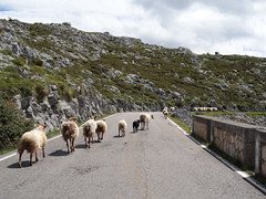 Sheep and their sheepdog way in the lead