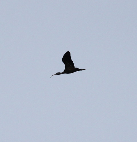 """Glossy Ibis, Marazion 280914 (P.Freestone) • <a style=""""font-size:0.8em;"""" href=""""http://www.flickr.com/photos/30837261@N07/15358884436/"""" target=""""_blank"""">View on Flickr</a>"""