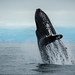 """A humpback whale jumping in air with joy... • <a style=""""font-size:0.8em;"""" href=""""http://www.flickr.com/photos/41711332@N00/15139093940/"""" target=""""_blank"""">View on Flickr</a>"""