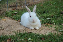 "White Bunny • <a style=""font-size:0.8em;"" href=""http://www.flickr.com/photos/72892197@N03/15458119791/"" target=""_blank"">View on Flickr</a>"
