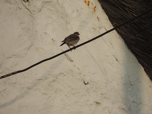 """Rose-coloured Starling, The Lizard (S.Brown) • <a style=""""font-size:0.8em;"""" href=""""http://www.flickr.com/photos/30837261@N07/15225460500/"""" target=""""_blank"""">View on Flickr</a>"""