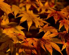 Japanese Maple(?)