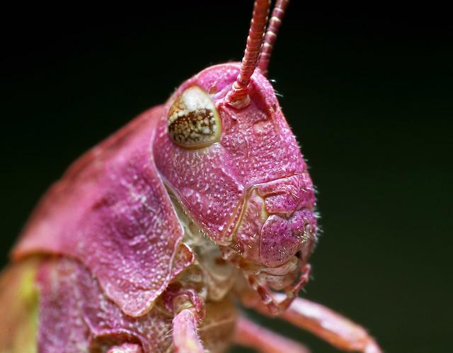 Pink Grasshopper?