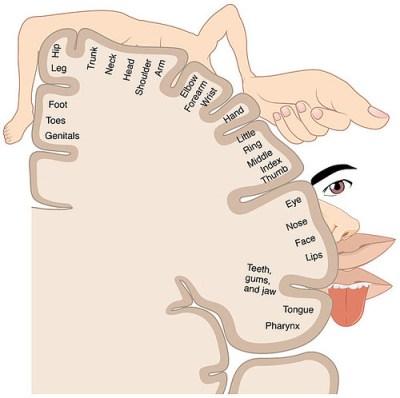 sensory homunculus brain plasticity