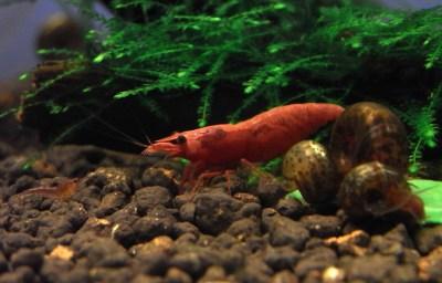 Red Fire Grade S Neocaridina Heteropoda