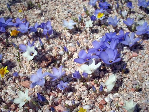 Linanthus parryae population