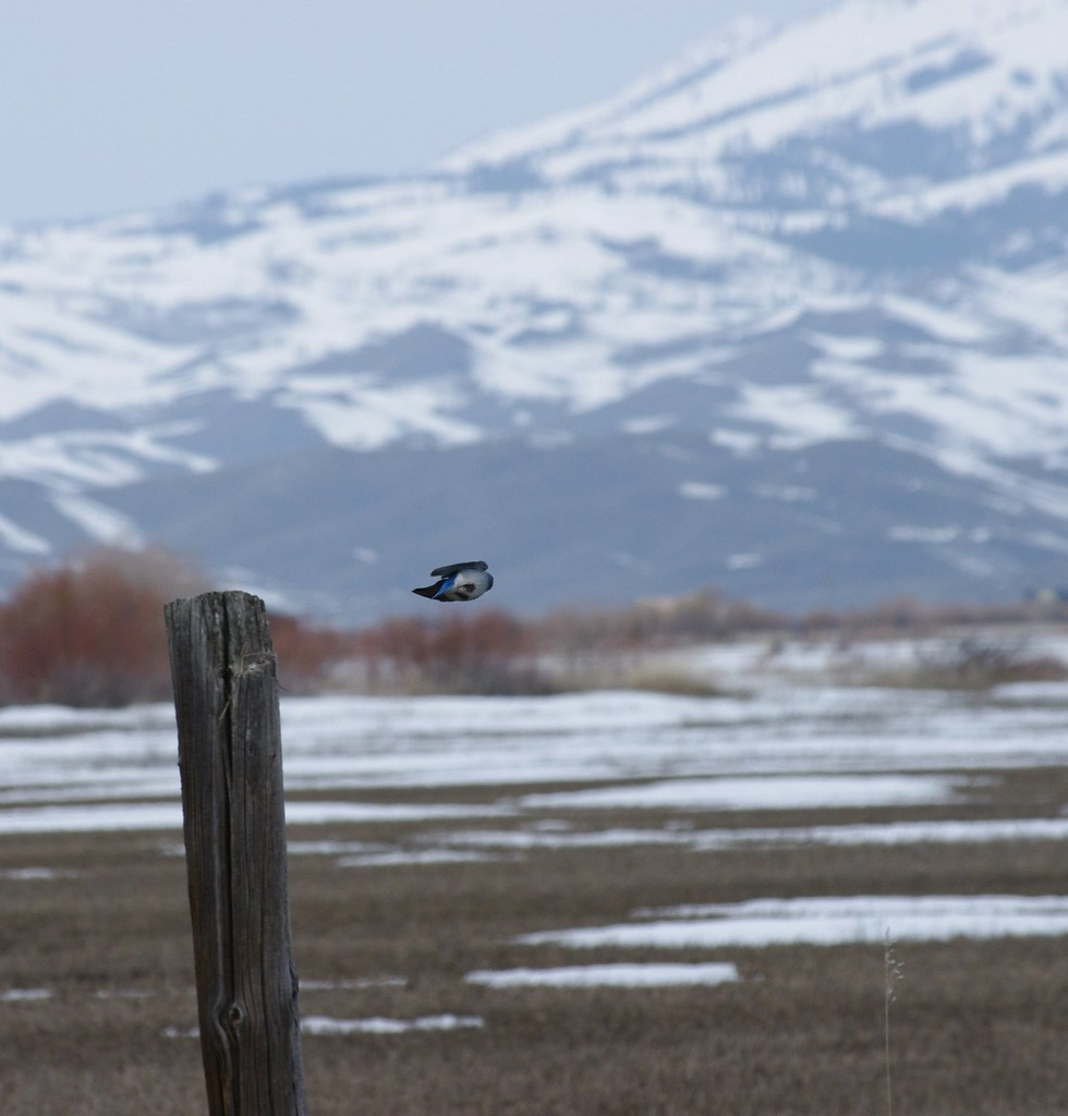Mountain Bluebird Leaping into flight to the next fence post