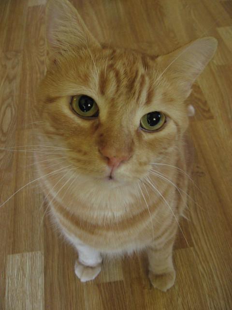 Orange Tabby Cat Sam Previously Butterscotch Flickr