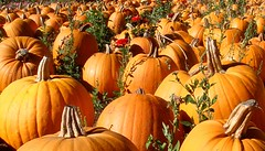Pumpkins by wearitdotcom