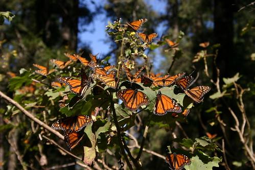 ¡Mariposa Monarcha! by Scott Clark