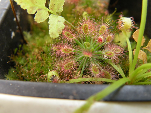 drosera paleacea subs roseana