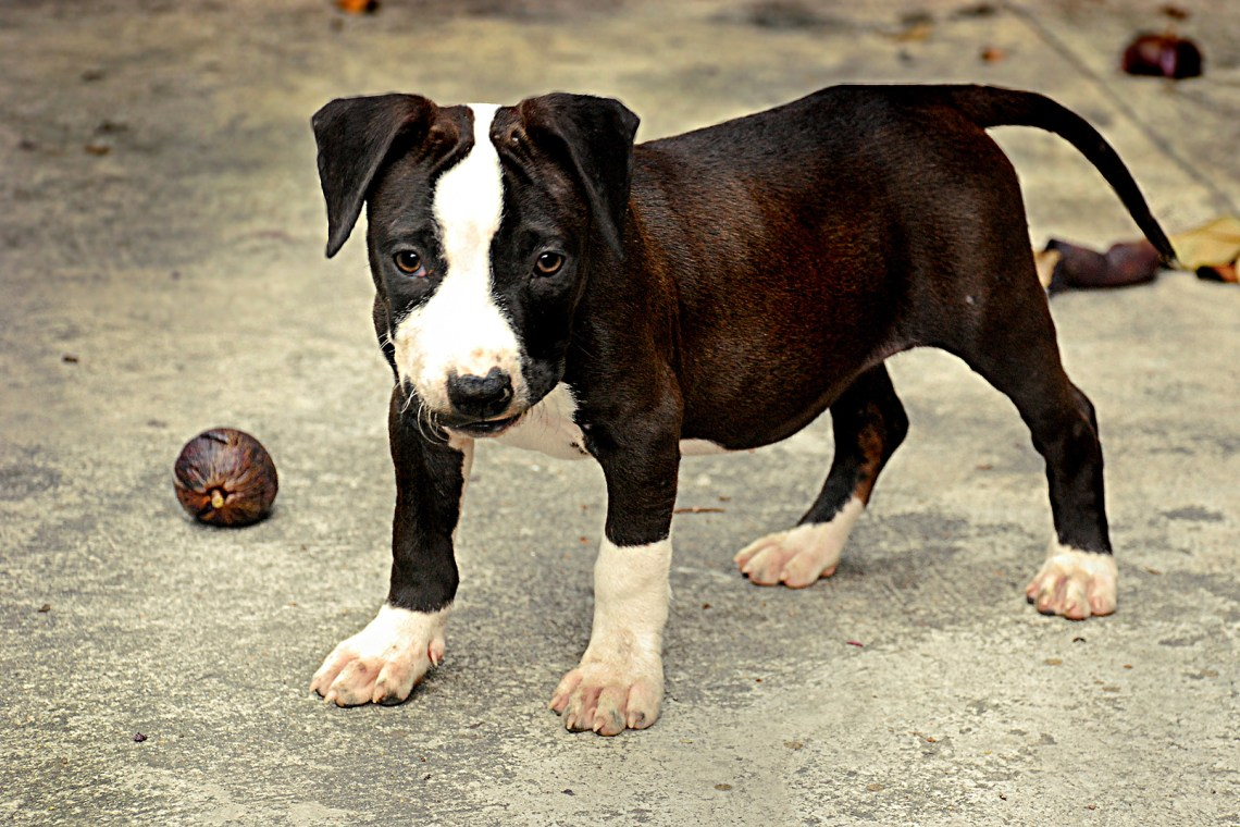 2317638151 934da6bee9 o d Small Pitbull Looking Dog
