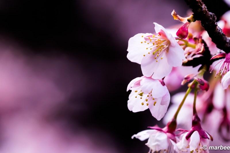 Cold cherry blossoms