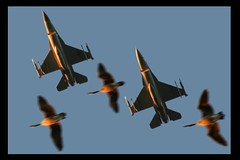 Falcons Over Geese