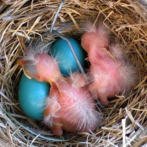 Robin Chicks 2