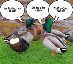 Gossiping Ducks.