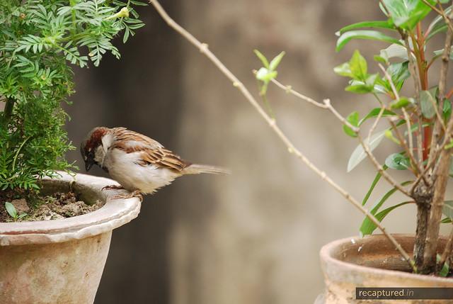 sulking sparrow