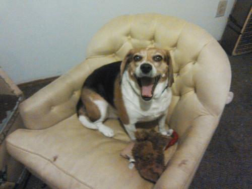 Happy ladybug beagle