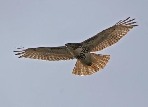 Redtail Hawk by Dave Mellenbruch