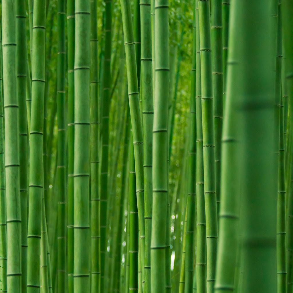 Bamboo forest : Arashiyama, Kyoto, Japan / Japón