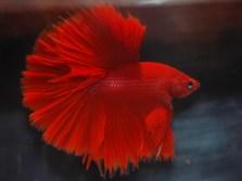 HM Red M - Sarawut