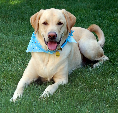 Cody Yellow Lab Happy Dog