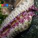 Knobbly sea star (Protoreaster nodosus)