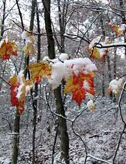 red maple leaves in snow