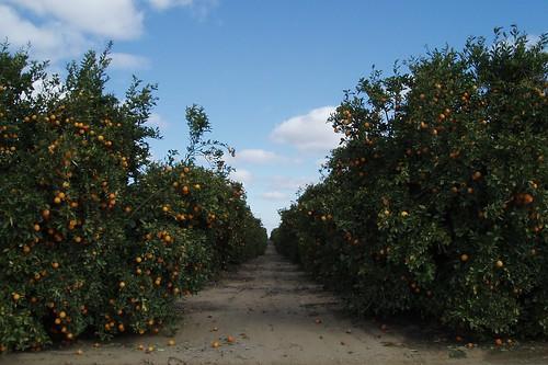 Orange Grove 01