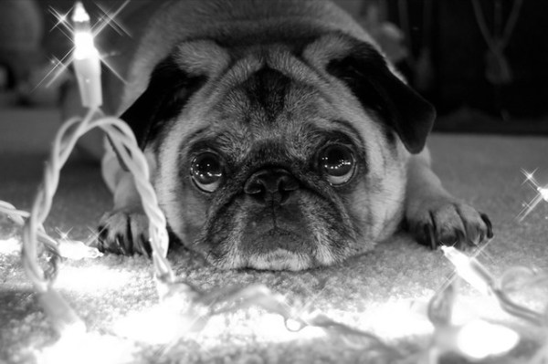 pug wishes by Denise Rosser