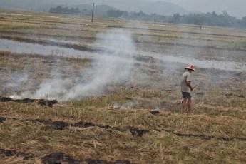 Reis-Ähren verbrennen