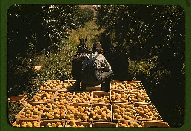Hauling crates of peaches from the orchard to the shipping shed, Delta County, Colo.  (LOC)