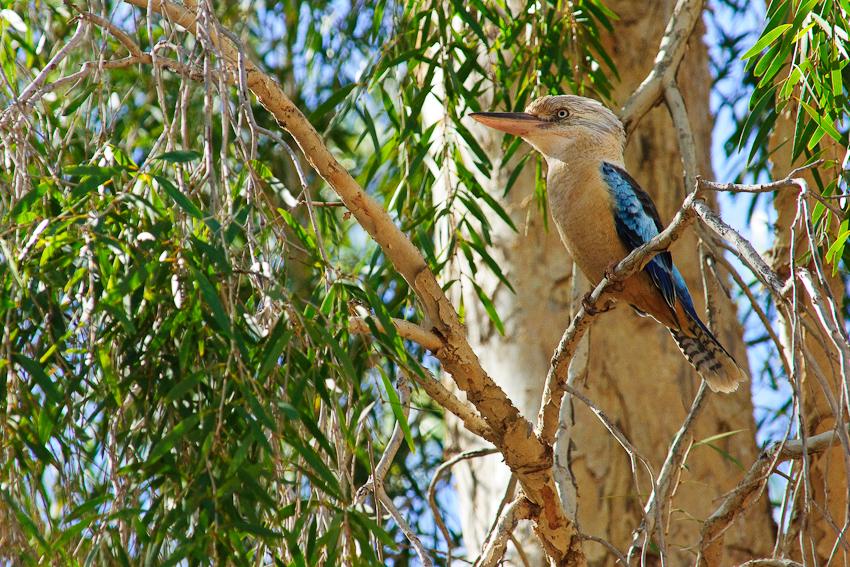 Diesmal ein blaugeflügelter Kookaburra