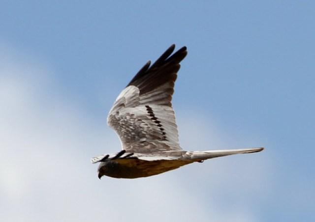 2011_06_08 PIC - Montagu's Harrier - male (Circus pygargus) 03