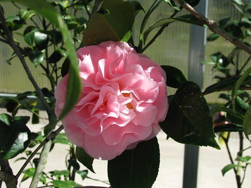 Camellia~ Frankie Winn (3)