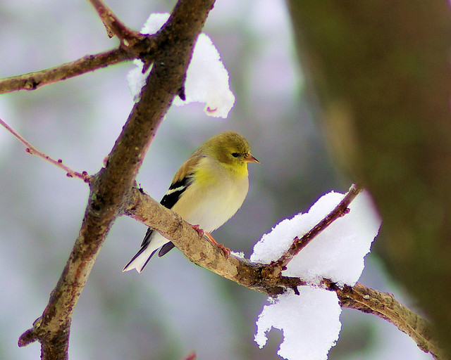 American Goldfinch, west central Arkansas, March 7, 2008