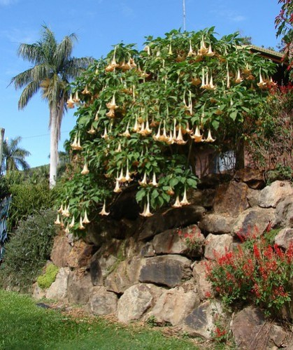 Brugmansia - Angel's trumpet di Tatters:), su Flickr. CCommons BY