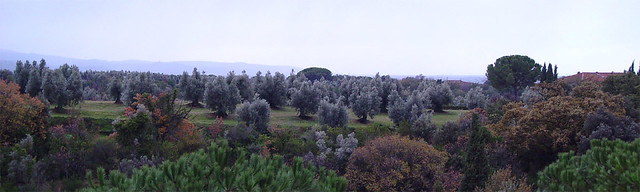 Olive trees - View from Bolgheri, Tuscany