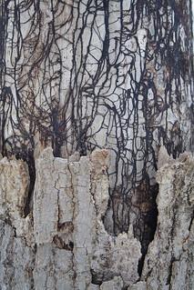 Rhizomorphs of Armillaria mellea