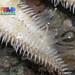 Eight-armed sand star (Luidia maculata)