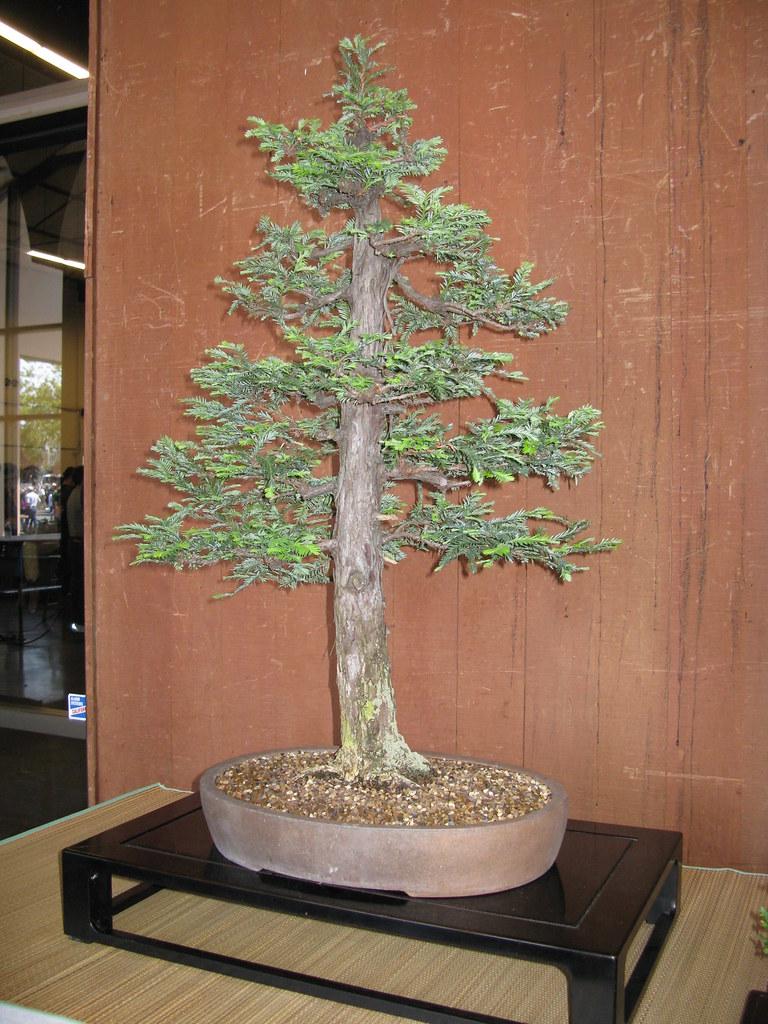 Redwood Bonsai