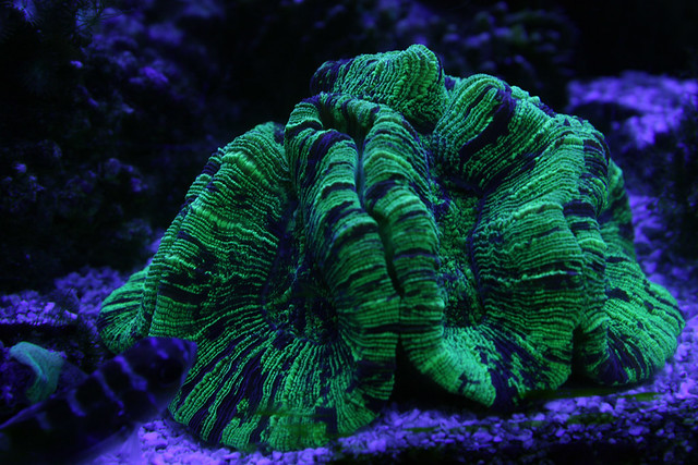 Open Brain Trachyphyllia Coral Actinic Lighting Ray
