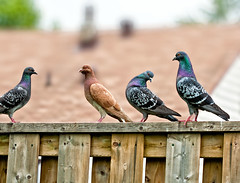 Pigeon pagent