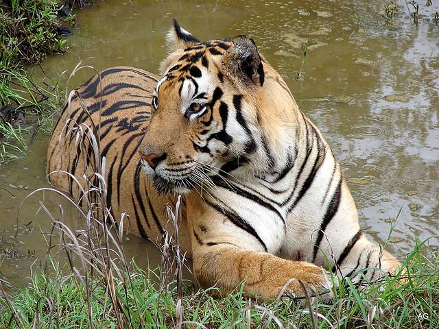 Tiger at Kanha national park 2008