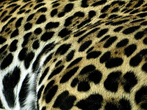 Stone Zoo Jaguar Pattern